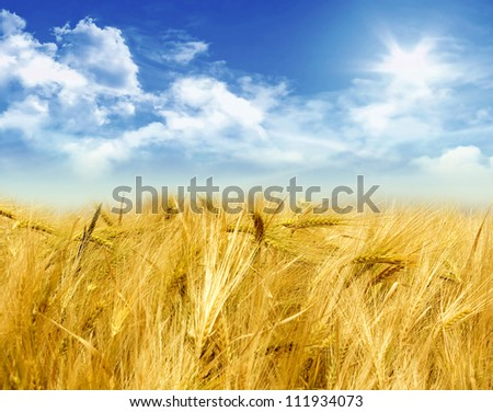 Cornfield on a sunny day with clouds