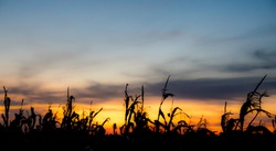 Cornfield on the colorful skies background.