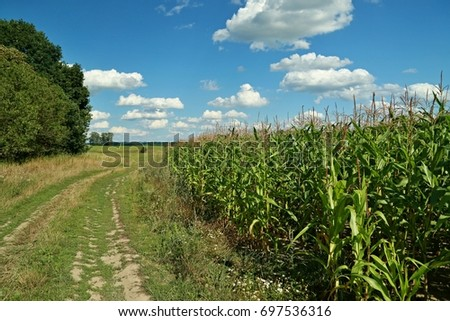 Cornfield, path and blue sky with white clouds