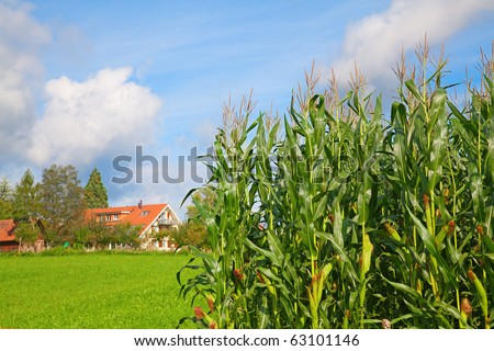 Cornfield under a blue sky with typical swiss farm on the background