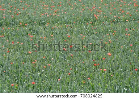 Cornfield with poppies, unadulterated and un-sprayed field infused with poppy flowers in Bavaria, Germany #708024625