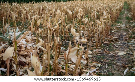 Cornfields after harvesting at the end of the summer leaves a dry stem