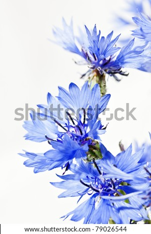 Cornflower (Centaurea cyanus) on white background See my portfolio for more