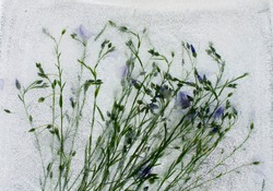 cornflower, ice, frozen flower, blue wildflowers, frozen in ice, background