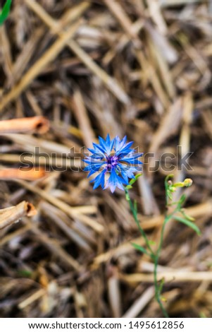 Cornflower on a background of a wheat field. Cornflower flower in the field. Beautiful background with cornflower #1495612856