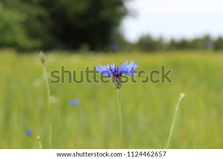 Stock Photo Cornflower on the field in the village