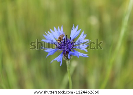 Stock Photo Cornflower on the field in the village