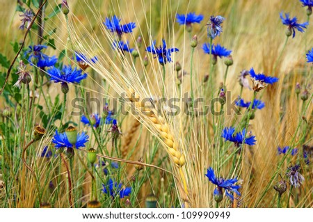 Cornflowers and barley