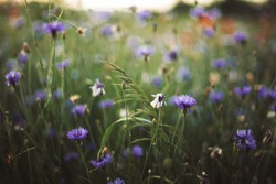 Cornflowers and green grass in sunset light in summer meadow, selective focus. Atmospheric beautiful moment. Wildflowers centaurea close up in warm light, summer in countryside. Environment