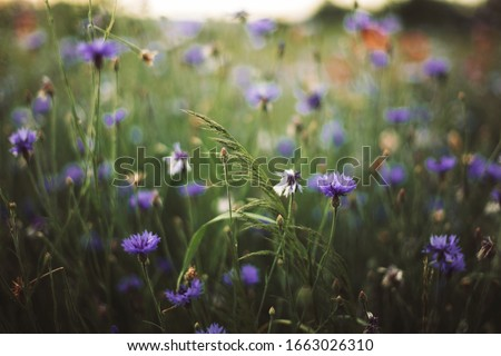 Photo of  Cornflowers and green grass in sunset light in summer meadow, selective focus. Atmospheric beautiful moment. Wildflowers centaurea close up in warm light, summer in countryside. Environment