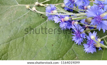 Cornflowers. Blooming cornflowers. Bouquet of cornflowers on a green background #1164019099