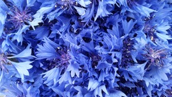 Cornflowers. Blooming cornflowers. Bouquet of cornflowers on a green background. Background for postcards. Banner