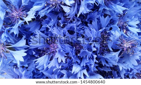 Cornflowers. Blooming cornflowers. Bouquet of cornflowers on a green background. Background for postcards. Banner #1454800640