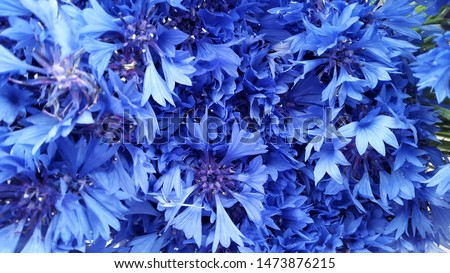 Cornflowers. Blooming cornflowers. Bouquet of cornflowers on a green background. Background for postcards. Banner #1473876215