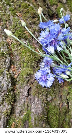 Cornflowers. Blooming cornflowers. Bouquet of cornflowers on woody background. Bouquet of field cornflowers #1164019093