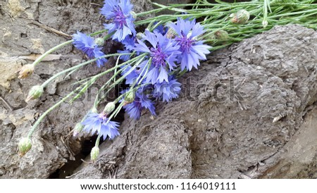 Cornflowers. Blooming cornflowers. Bouquet of cornflowers on woody background. Bouquet of field cornflowers #1164019111