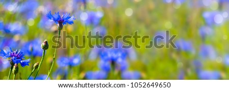 cornflowers in summertime banner background #1052649650