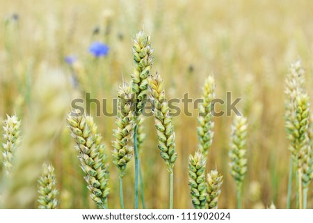 cornflowers in  wheat field in summer day