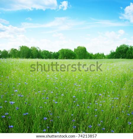 Cornflowers in wheat field under blue sky. #74213857
