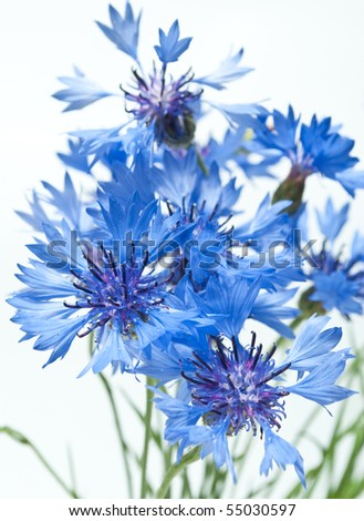 cornflowers isolated