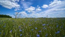 Cornflowers on a wheat field. Summer 2020. Lithuania.