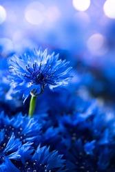 Cornflowers. Wild Blue Flowers Blooming. Border Art Design background. Closeup Image. Soft Focus