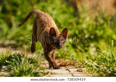 Cornish Rex brown cat walking and play outdoor on the grass