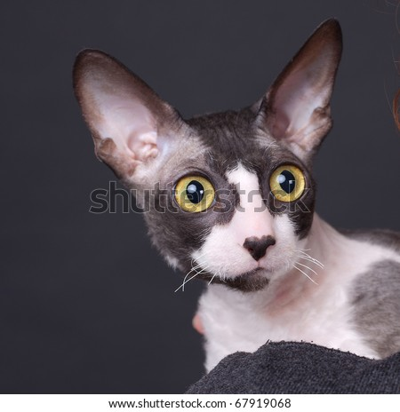 Cornish rex cat against the black background