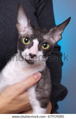 Cornish rex cat against the blue background