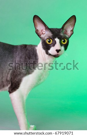Cornish rex cat against the green background