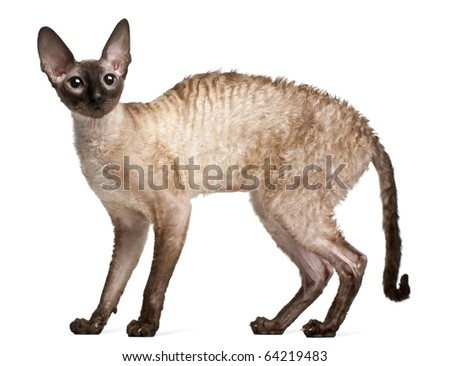 Cornish Rex cat, 14 months old, standing in front of white background