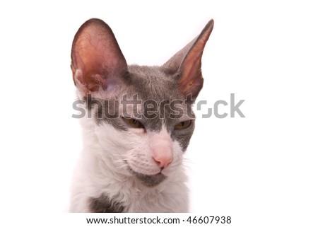 stock photo : Cornish rex cat