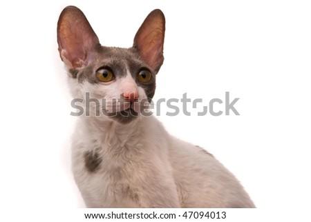 Cornish rex cat on a white background