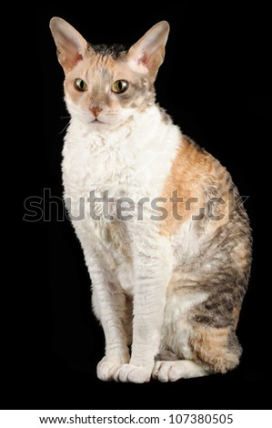 Cornish Rex Cat Sitting Against Black Background