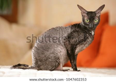 Cornish rex cat sitting sideways on a sofa indoor