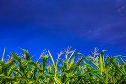 Cornstalks in a cornfield with background of blue sky