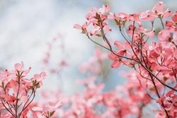 Cornus florida rubra Tree with pink flowers in spring Park. Cornus florida flowering dogwood on blue sky background. Spring flowering tree close-up. Spring blossom background. Spring flowers.