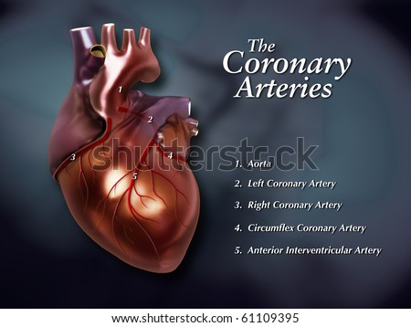 Coronary Arteries Labeled