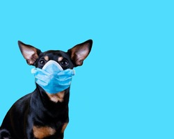 Coronavirus Small Black And Tan Dog Wearing a Medical Face Mask Against COVID-19 isolated on blue background. Conceptual Image with copy space.