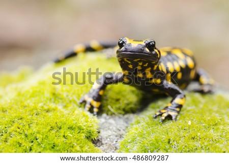 Corsican fire salamander, salamandra corsica, portrait, Corsica, France