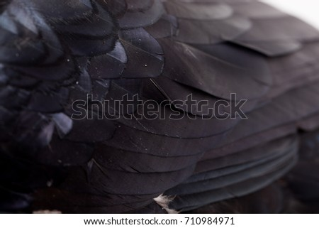 Corvus corax. Common Raven in front of white background, isolated. Studio Shot. tame bird