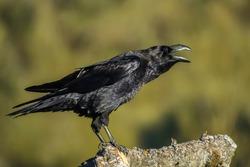 corvus corax, raven
