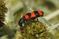 Coseup on the brilliant red colored bee hive beetle , Trichodes apiarius