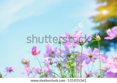 cosmea flower under sunlight and blue sky with selective focus with sun lighting flare effect.