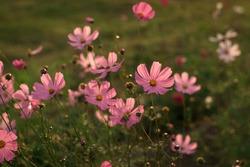 Cosmea flowers. Summer flowers like daisies. Flowers on green background