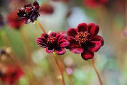 Cosmos atrosanguineus (Chocolate Cosmos) is a species of Cosmos, native to Mexico, Asteraceae family.