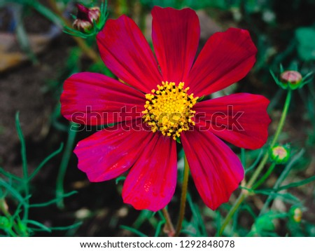Cosmos bipinnatus blooming in the garden.Macro photo of red cosmos flower (Cosmos Bipinnatus).Cosmos bipinnatus or Mexican aster.Beautiful flowers ,Flowers in the garden and sunray.