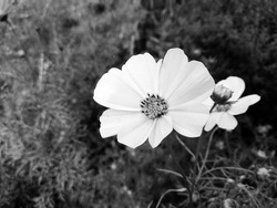 Cosmos bipinnatus, commonly called the garden cosmos or Mexican aster. Dark aesthetic background and wallpaper. Desktop background. Black and white nature photography