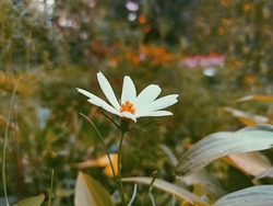 Cosmos bipinnatus, commonly called the garden cosmos or Mexican aster. Dark aesthetic background and wallpaper. Desktop background