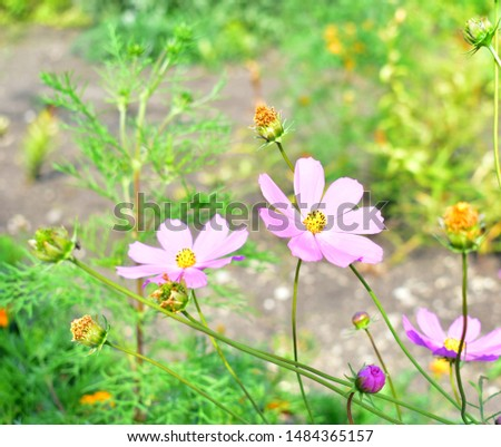 Cosmos bipinnatus (cosmos bipinnatus) flowers of the Cosmos.